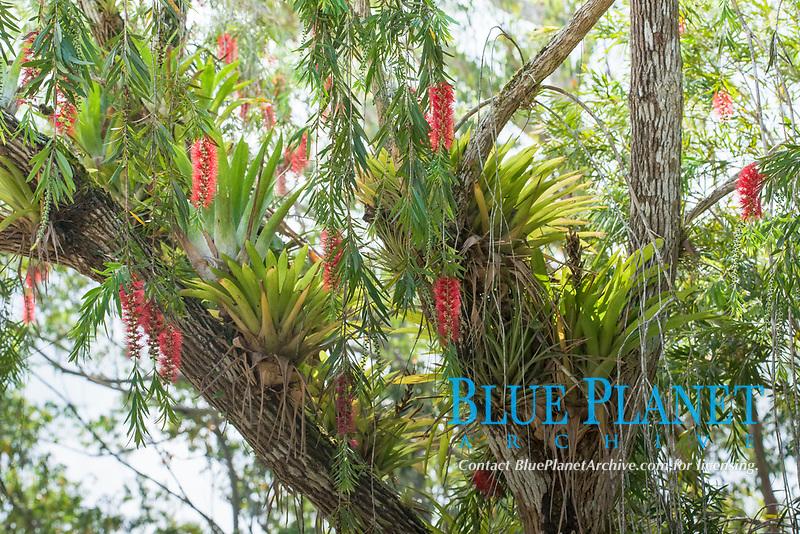 Red flowering Bottlebrush (Callistemon) with Bromelia (Bromelia), Parque Guanayara, Cuba, Central America