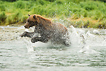 A coastal brown bear splashes through the water, disrupting nearby seagulls, as it chases salmon in Katmai National Park, Alaska.