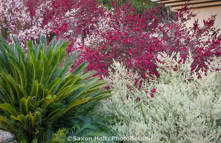 Drought tolerant shrubs, Sago Palm, gray foliage Westringia, red flowering Leptospermum in garden in Southern California