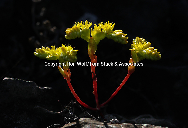 Dwarf Stonecrop (Parviseduum pumilum) a/k/a Dwarf Cliff Sedum. North Table Mountain. Near Oroville, Butte Co., Calif.