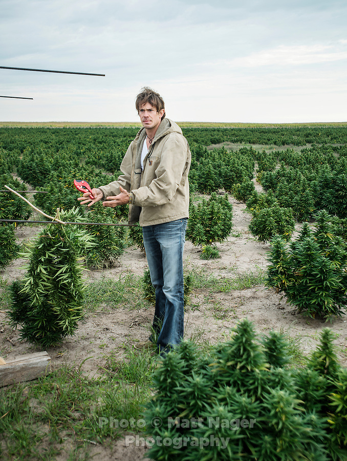 Jared Stanley (cq) prepares for harvest of industrial grade hemp at the Stanley Brother's farm near Wray, Colorado, Monday, September 22, 2014. The Stanley Brothers have developed a popular strain of marijuana that has been found to be helpful in reducing seizures. The marijuana high in CBDs and low in THC, the chemical which gets a person stoned.<br /> <br /> Photo by Matt Nager