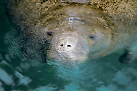Florida manatee or West Indian manatee, Trichechus manatus latirostris, breathing at surface, Homosassa Springs, Florida