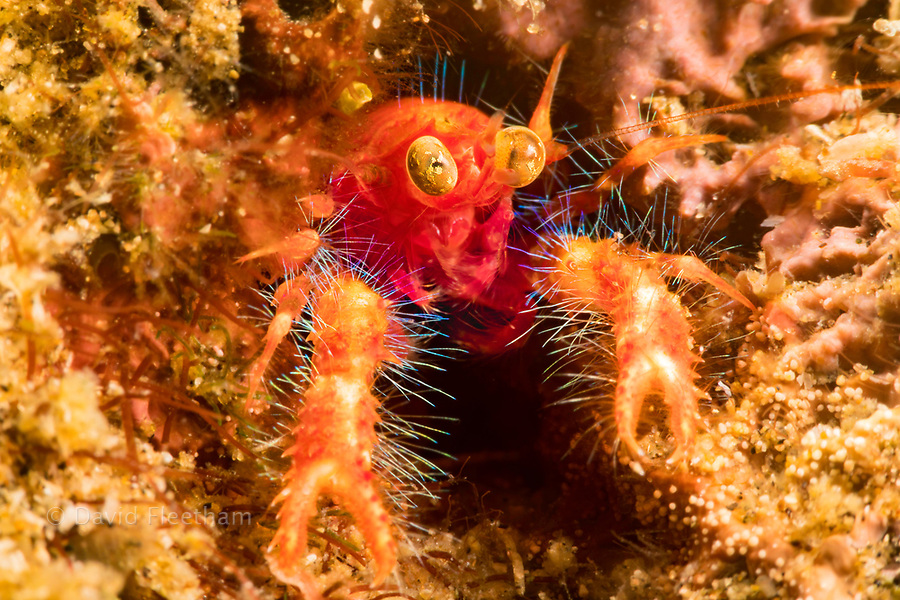 The bug-eyed squat lobster, Neomunida olivarae, is also known as a colored squat lobster or the google-eyed fairy crab, Dumaguete, Philippines, Asia.