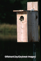 00715-037.03 Wood Duck (Aix sponsa) ducklings leaving nest box Marion Co.   IL