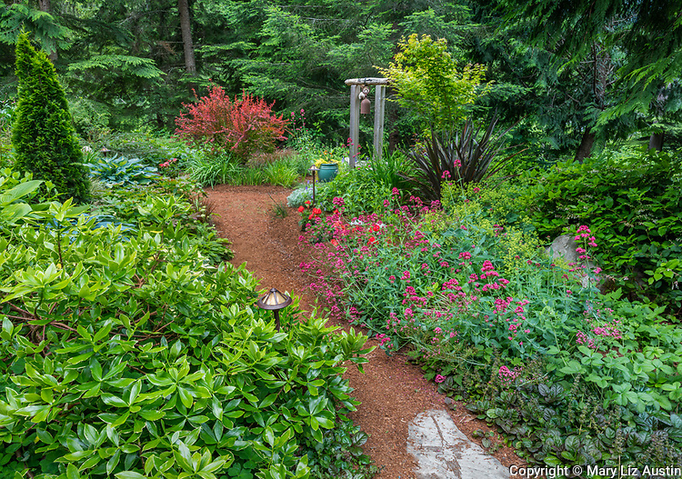 Whidbey Island, Washington: Pathway through woodland garden with hostas, valerian, ajuga and barberry