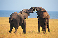 African Elephant bulls (Loxodonta africana) engaging in dominance behavior--sparring.  Lake Kariba, Matusadona National Park, Zimbabwe.