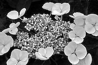 Close up of Lace Cup Hydrandria. (Hydrangea macrophylla-lace Cap.