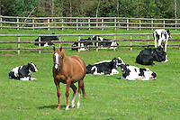Racehorse in a field with Holstein cattle, Cheshire.