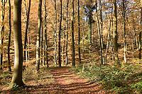 Herbstlicher Buchenwald, Waldweg, Rot-Buche, Buche, leuchtende Herbstfarbe, Blätter, Herbstlaub, Fagus sylvatica, Common Beech