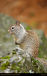 California Ground Squirrel, Otospermophilus beecheyi, Mirror Lake, Yosemite National Park