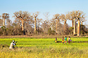 Photographer photographing group of children with Boabab trees in background  {Adansonia grandidieri}. Morondava, Madagascar.