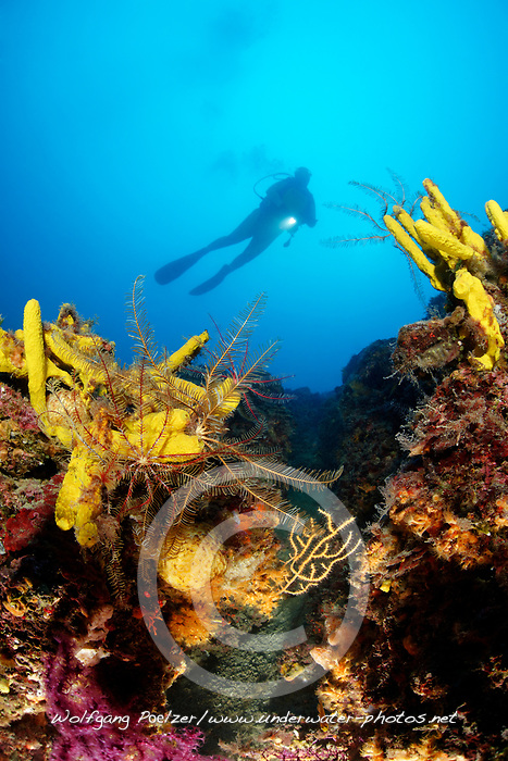 Antedon mediterranea und Aplysina aerophoba, Korallenriff mit Mittelmeer Haarstern und Goldschwamm und Taucher, Coralreef with Mediterranean feather star, Golden sponge and scuba diver,  Adria, Adriatisches Meer, Mittelmeer, Selce, Kvarner Bucht, Kroatien, Adriatic Sea, Mediterranean Sea, Selce, Kvaner Gulf, Croatia, MR Yes