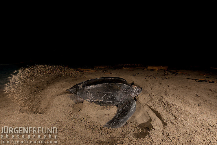 Leatherback turtle making her nest. Warmamedi, Jamursbamedi, Bird's Head Peninsula, West Papua Indonesia