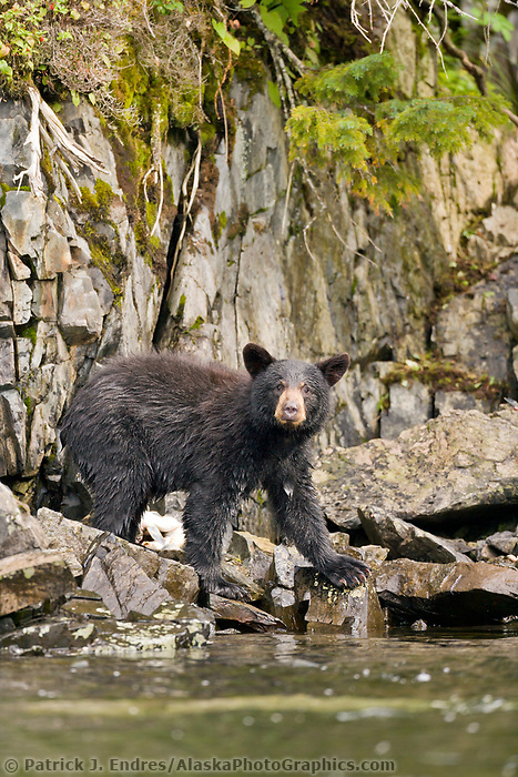 Black bear fishing for Pink salmon along a stream draining into the waters of Prince William Sound, Alaska.