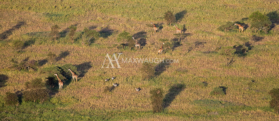 A herd of giraffes and zebras photographed from a hot air balloon over the Serengeti.