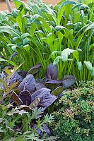 Red Komatsuna, purple leaf edible mustard green in Sunset demonstration organic garden; Cornerstone Gardens. Sonoma, California