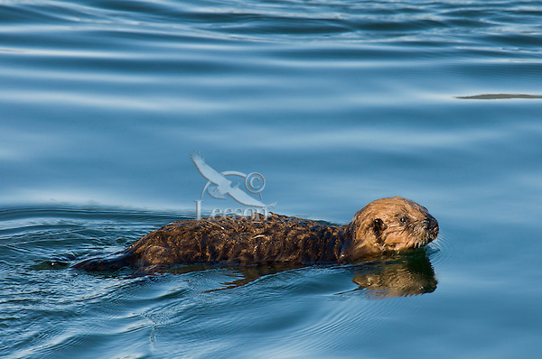 Young Alaskan or Northern Sea Otter (Enhydra lutris) pup.  At this age they cannot dive (see photo D3B8255) with their mother for food so the swim/float on surface until she returns.  Alaska.