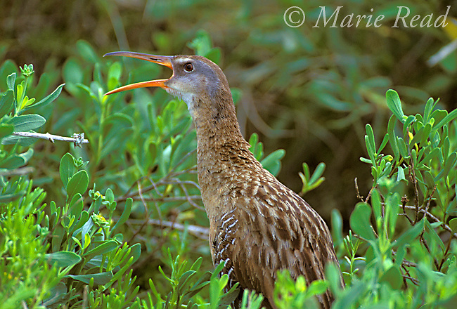 Clapper Rail (Rallus longirostris) calling amid salt-marsh vegetation, Bolivar Peninsula, Texas, USA<br /> Slide # B47-610