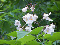 Catalpa tree flowers and leaves