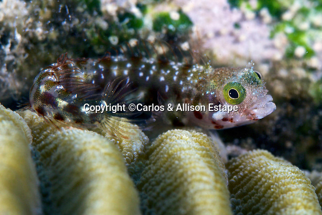 Acanthemblemaria spinosa, Spinyhead blenny, Bonaire