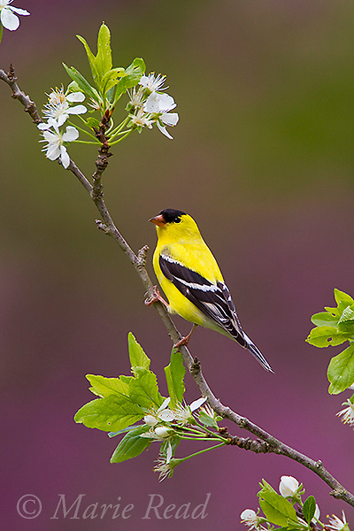 American Goldfinch (Carduelis tristis) male perched on branch with flowers of pear tree in spring, (mauve background is out of focus flowering eastern redbud) New York, USA