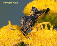 AM01-644z  Ambush Bug, male on tansey flowers drinking nectar with beak, Phymata americana