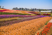 Tractor tour in rows of colorful ranunculus bulb flowers in agriculture field at Flower Fields, cut flower display garden San Diego California