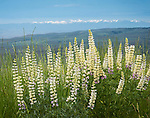 Oregon, Eastern, Richland. Yellow Lupine and distant view of the Blue Mountians in spring.