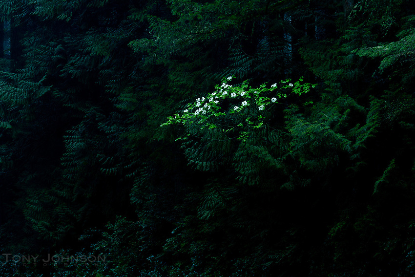 Dogwood flowers bloom through the wall of evergreens along a road on Bainbridge Island