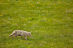 A single coyote hunts in a field of yellow flowers in a grassy field.