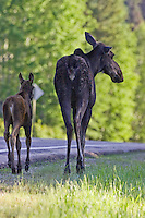 Moose cow and calf walking down the side of a road