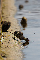 A brood of young mallard ducklings relax in the hot summer weather on a canal in Wapping, East London. Many ducklings are being born unseasonably late in the UK this year following cold, wet weather during the winter and spring.