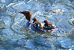Common merganser and babies