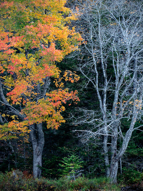 Two maple trees, one with leaves, one without, shelter a young conifer in Acadia National Park, ME