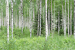 Silver Birch woodland, Betula pendula, near Hiidenportti National Park, Finland, in Sotkamo in the Kainuu region