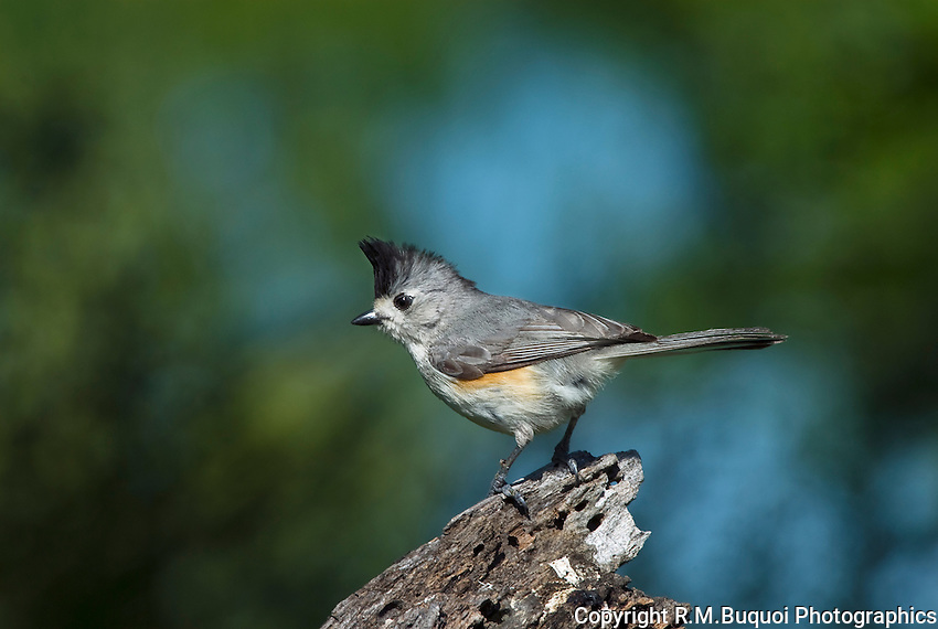 Tufted Titmouse (Mexican)