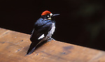 acorn woodpecker in Bonny Doon.<br />