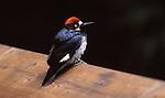 acorn woodpecker in Bonny Doon.<br /> FB-S173  Back small photo for 4x6 postcard. Crop in on woodpecker