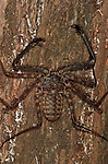 Whip Scorpion or Spider, Amblypygi, nocturnal.Thailand....