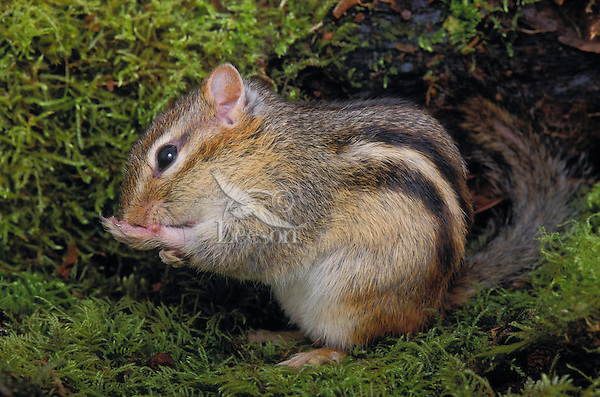 Least Chipmunk grooming..Southern Canada & Western USA..(Eutamias minimus).