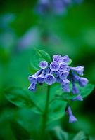 Blue bells, Hyacinthoides non-scripta, Scilla nonscripta