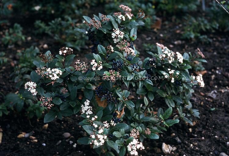 viburnum tinus gwenllian in berries and flowers plant. Black Bedroom Furniture Sets. Home Design Ideas