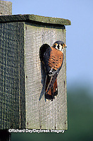 00818-011.15 American Kestrel (Falco sparverius) male at nest box, Marion Co.   IL