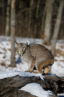 Canada lynx (Lynx canadensis) crouching on a snow-covered log