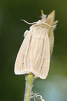 Common Wainscot Mythimna pallens Length 17-19mm. A rather plain grassland moth. At rest, wings are held in a tent-like manner. Adult has buffish forewings with whitish veins; hindwings are whitish. Flies July-August. Larva feeds on various grasses. Widespread and fairly common in southern and central Britain; more local further north.