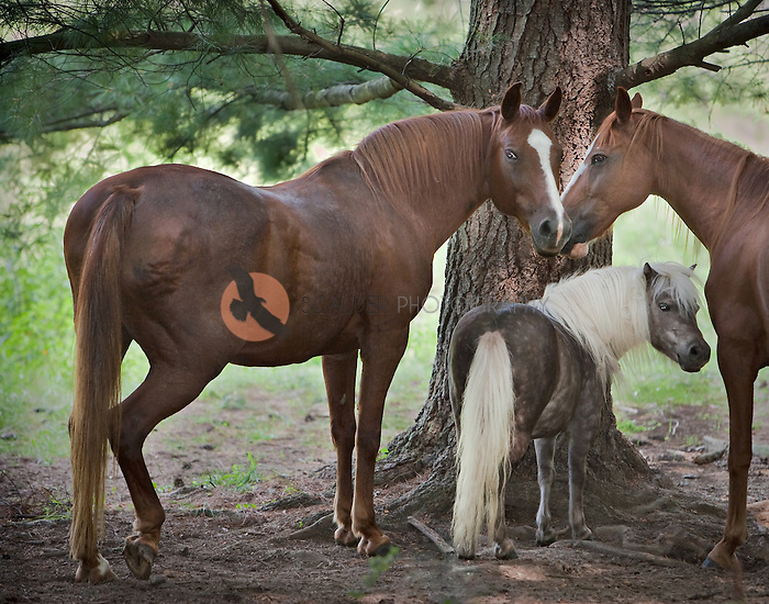 Two horses with a pony between them, standing under the shade of a pine tree in rural North Carolina