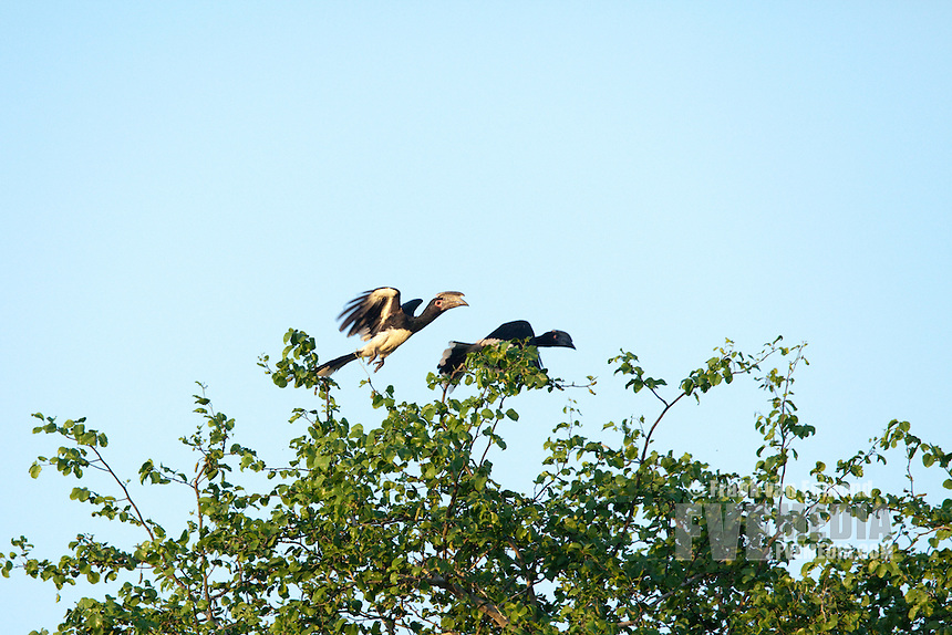 Trumpeter Hornbill (Bycanistes bucinator)..Ndumo Game Reseve, Kwazulu-Natal, South Africa..November 2010.