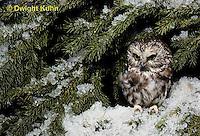 OW02-090b  Saw-whet owl - Aegolius acadicus