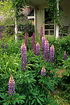 Lupine (Lupinus polyphyllus) blooming in a front yard in Dresden, Maine, USA