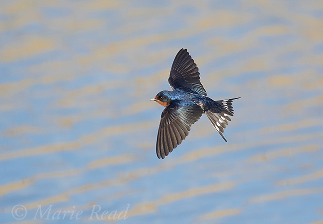 Barn Swallow (Hirundo rustica) in flight over water, Bear River Migratory Bird Refuge, Utah, USA